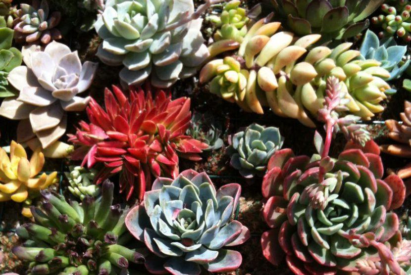 Suculentas Vivero Laguna Verde Chile