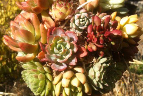 Bolas de Suculentas vivero Laguna Verde Chile